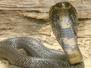 tipos de cobra real