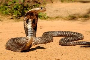la cobra india