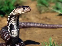 el tipo de cobra china