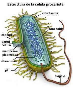 (Estructura de célula procariota.)