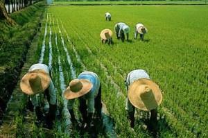 (El arroz es uno de los celerales con mayor producción mundial)