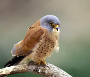 (Los falconidaes vuelan a grandes velocidades)