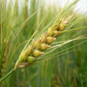 (La cebada formaba parte de la dieta de los egipcios, romanos y griegos)