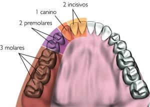 (El ser humano tiene 32 dientes)