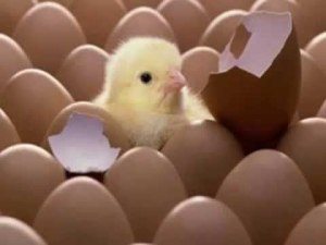 (Los ovíparos nacen de un huevo)