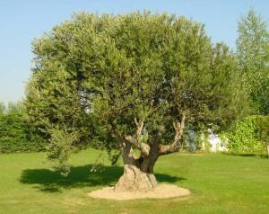 (Casi todas las partes del olivo son útiles en medicina)