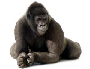 (Los gorilas son vertebrados)