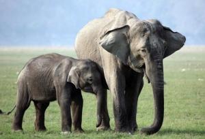 (Los elefantes son un ejemplo de animales vivíparos)