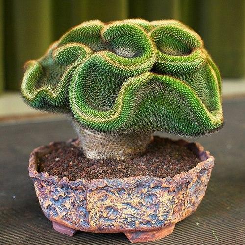 Tipos de cactus - Cactus raros fotos ...