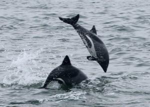 (Delfín chileno o negro)