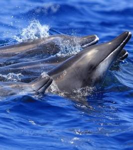 (Delfín de hocico estrecho)