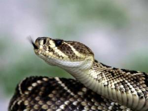 (La culebra es una especie de serpiente)