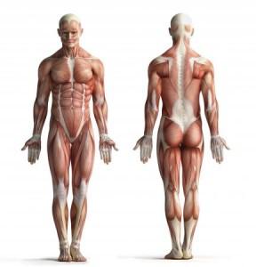 (Los músculos son uno de los tejidos que se encuentran en el cuerpo)