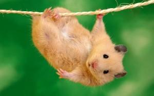 (Los ratones son roedores)