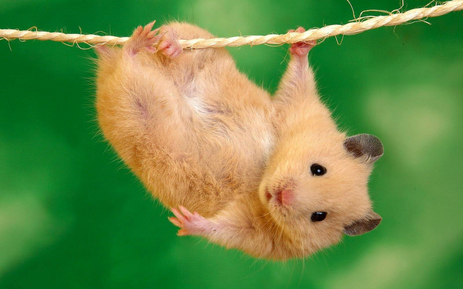 los ratones son roedores