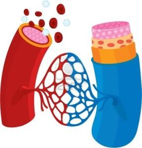 (Los vasos sanguíneos son los conductos por los que viaja la sangre)