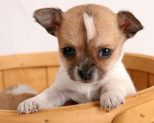 (Chihuahua)