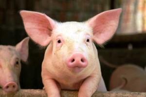 (El cerdo tiene hocico chato y flexible)