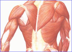 (Fibras musculares. Ilustración)