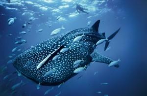(Las ballenas son mamíferos marinos)