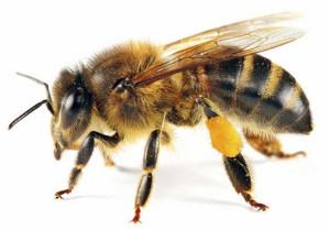 (Se conocen 17 mil especies de abejas)